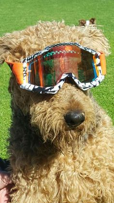 Cool Airedale Terrier