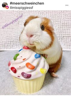 Pet Guinea Pigs, Guinea Pig Care, Chinchillas, Hamsters, Guinnie Pig, Animals And Pets, Cute Animals, Piggly Wiggly, Cute Drawings