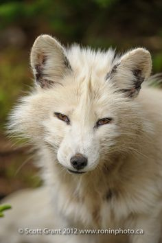 ☀Arctic Fox  (by Scott Grant on Flickr*)