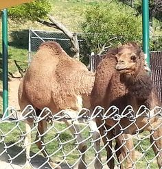 Oakland Zoo - Camel