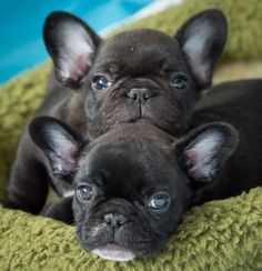 Two French Bulldog Puppies....Yes Please!❤