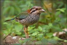 The Scaly Ground Roller (Geobiastes squamiger) is a species of bird in a monotypic genus in the Brachypteraciidae family. It is endemic to Madagascar. All Birds, Love Birds, Beautiful Birds, Fotografia Macro, Bird Pictures, Bird Species, Bird Watching, Bird Feathers, Wildlife Photography