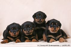 Rottweiler. Love Rotties!!