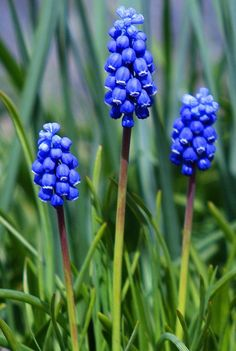grape hyacinth - another early flowering plant that's gorgeous in masses.