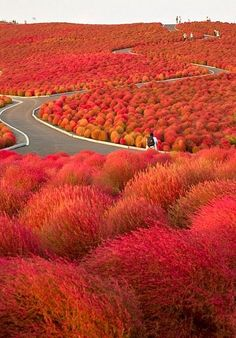 Japan has some of the best autumn colors in the world. This autumn scene in Hitachi Seaside Park shows why. The hues are stunning!