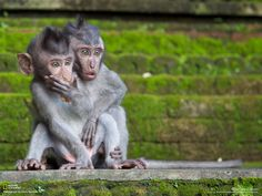 Baby Macaques watch mom attack their food thief