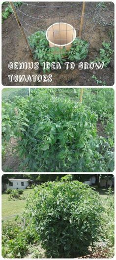 Diy: grow better tomatoes with consistent self releasing of water and nutrients:) Idea: try with an olla sitting in the middle to reduce the need for watering so frequently.