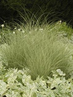 Miscanthus gracillimus: Deer & Drought Proof Ornamental Grass for privacy hedge. Eulalia grass vigorously grows tall with brilliant fall color. Garden Landscape Design, Grass, Autumn Garden, Ornamental Grasses, Miscanthus Morning Light, Flower Garden Pictures, Perennials, Plants, Shade Perennials