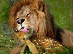 This is so adorable the Lion liking the little fawn