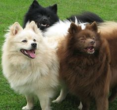 Three German Spitz