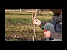 How to Prune a Grape Vine with Two Primary Shoots - Gurney's Video