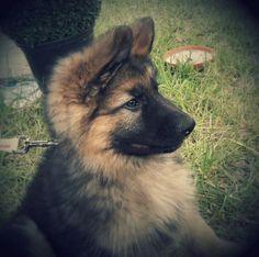 GSD Puppy-Django...2 Months