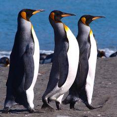 King Penguins, Gold Harbour South Georgia by Per Lidvall Penguin Life, King Penguin, Beautiful Birds, Animals Beautiful, Cute Animals, Arctic Animals, Penguin Pictures, Funny Animal Pictures, Penguin Parade