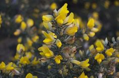 Gorse flower cordial recipe