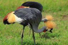 Koronnik szary.Eng. Grey crowned crane. (Balerica regulorum)-duży ptak należący do rodziny żurawiowatych. Koronnik szary od dawien dawna nazywany był żurawiem koroniastym. Koronnik szary zamieszkuje głównie na suchych sawannach Afryki, na południe od Sahary (Kenia, Uganda). Prowadzi zwykle osiadły tryb życia, na żerowiskach występuje w dużych stadach. W okresach lęgowych gromadzą się na mokradłach, bagnach, nad brzegami jezior. Waga ok 3,5 kg, a rozpiętość skrzydeł 190 cm. Najbardziej…