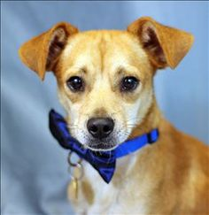 A.J. <3 Chihuahua Mix • Young • Male •  Woods Humane Society San Luis Obispo, CA. Primary Color: Tan. Weight: 13 lbs. Age: 1yrs. Animal has been Neutered.