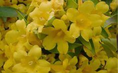 Butterscotch Jasmine Vine - Gelsemium sempervirens 'Butterscotch' #gardening #vines #ButterscotchJasmine
