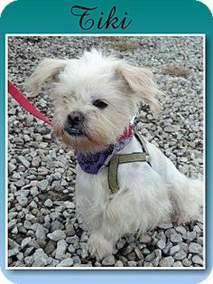 Delaware, OH - Shih Tzu. Meet Tiki a Dog for Adoption. So sweet and loving!!