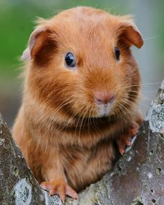 Copper | Young satin Guinea Pig enjoying a day outdoors | Paul | Flickr