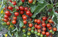 Vining and dining: how to grow the perfect tomatoes
