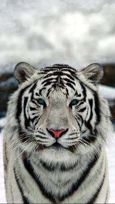 t - Descargue White Tiger Wallpaper de dathys – – Gratis en ZEDGE ™ ahora. The Animals, Cute Wild Animals, Strange Animals, Cutest Animals, Beautiful Cats, Animals Beautiful, Beautiful Pictures, Big Cats, Cats And Kittens