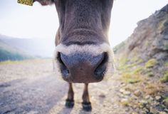 Snout and hoofs