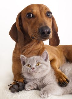 Dachshund and Cat. None of my dachshunds have ever liked cats or even tolerated them. Dachshund Love, Daschund, King Charles Spaniel, Whippets, Dog Cat, Cute Animals, Funny Animals, Pet Health, Health Tips