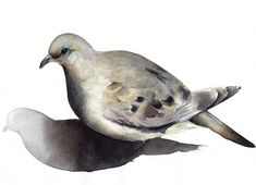 Tourterelle triste-oiseau d'aquarelle-Archives  par amberalexander