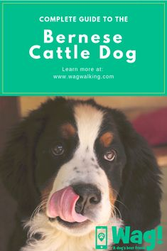 Everything you need to know about the Bernese Cattle Dog! Popular Dog Breeds, Best Dog Breeds, Wag Dog Walking, Herding Dogs, Dog Facts, Australian Cattle Dog, Switzerland, Best Friends, Puppies