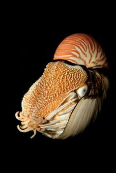 Deep Sea Chambered Nautilus Underwater Creatures, Underwater Life, Beautiful Creatures, Animals Beautiful, Deep Sea Creatures, Beautiful Ocean, Sea And Ocean, Sea World, Nautilus