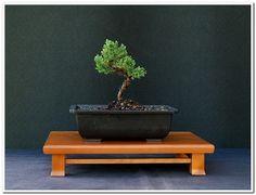 Juniper Proben Series Formal Displays Bonsaidallasplanter