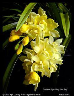 Cymbidium Enzan Liberty 'Moon Story'. A hybrid orchid (color)