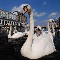 Swans, Lake Alster, Hamburg
