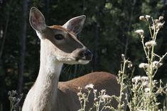How to Keep Deer From Eating Your Plants | OutsideModern