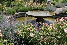 Katžolė 'Six Hills Giant' - tobula kaimynė rožėms