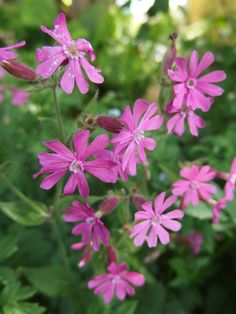 Garden Flowers - Annuals Or Perennials Puna-Ailakki - Silene Dioica Bunch Of Flowers, Wild Flowers, African Lily, Forest Flowers, Replant, Petunias, Daffodils, Botany, Botanical Gardens