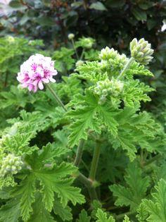 Rose geranium starting to bloom Geraniums, Give It To Me, Bloom, Herbs, Rose, Garden, Pink, Garten, Lawn And Garden