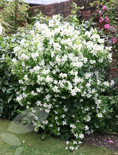 Buy mock orange Philadelphus 'Belle Etoile': Delivery by Crocus.co.uk