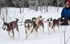 We want to do this: Adventure 101: Dogsledding from National Geographic's Intelligent Travel