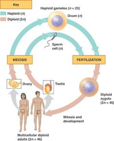 images about biology rocks    on pinterest   biology    human cycle of life