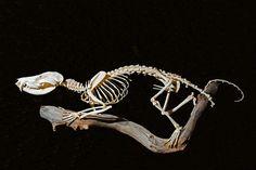 Opossum Skeleton Labeled in 2019 | Animal skeletons ...
