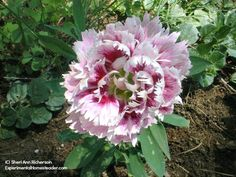 Dianthus Victoriana - Learn tips and tricks for starting Dianthus from seed!