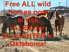 protect our horses and burros! | ... ford horse mustang oklahoma protect mustangs slaughter wild horses