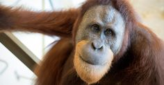 The eight-year-old primate has astounded scientists by copying words and sounds - then reproducing them in a 'conversational context'