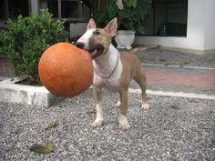 Nina Bull Terrier with Basketball