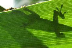Lézard Anoli  timide... / Shy Anole lizard. / By Susan Ford Collins.