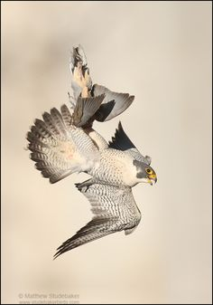 Peregrine Falcon inverted with dove | by www.studebakerstudio.com