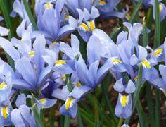 Iris reticulata 'Cantab' - Zwerg-Iris