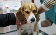 Az endometriózis a kutyák: az alapokat, okok, kezelés