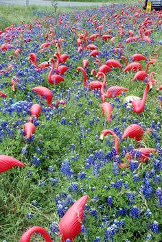 Flamingoes among the Texas bluebonnets